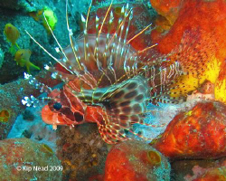 My favorite Zebra Lionfish shot. No special effects here,... by Kip Nead 